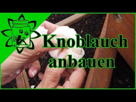 Knoblauch anbauen   Winter Knoblauch pflanzen im Herbst   Knoblauch selber ziehen