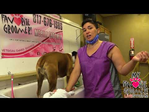 How to groom a Boxer How to groom a yorkie - Saturday Live with My Favorite Groomer