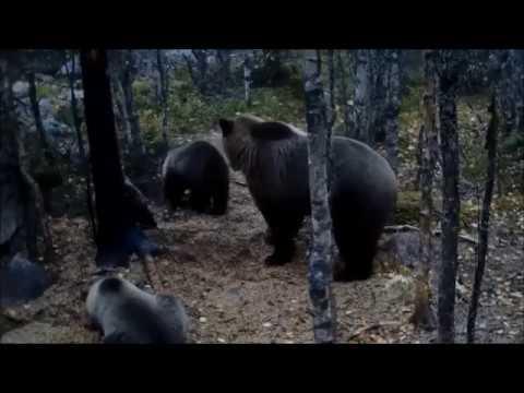 Björnfamiljen i Värmland