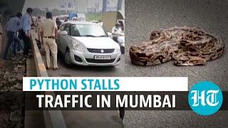ثعبان يوقف حركة المرور على طريق سريع