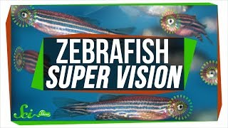 Baby Zebrafish Eyes Work Kind of like Real-Time Photoshop