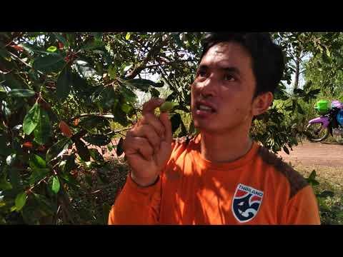 ผลไม้ป่า-ดองกินกะแซ่บ-ดองขายกะ