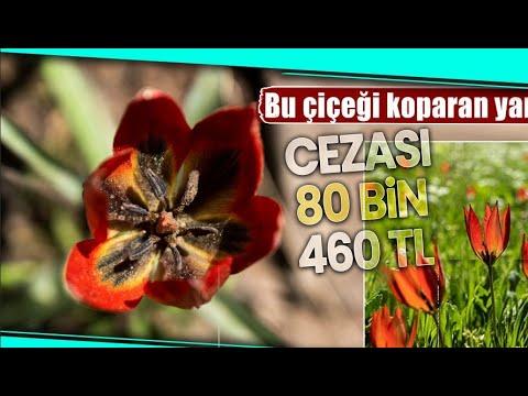 517 Rakımlı Spil Dağı Milli Parkı, Manisa Laleleriyle Renklendi
