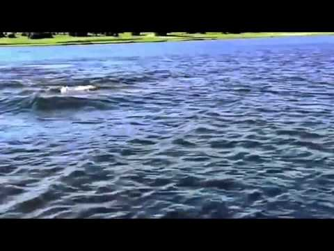 Video: Hippo attacks the boat on the lake - During the trip on the lake by boat attacked by a hippo who was sailing behind t