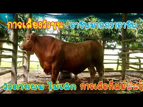 การเลี้ยงวัวขุน-เทคนิคการเลือก
