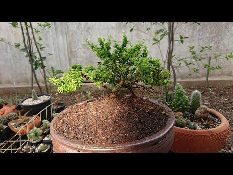 ต้นหลินซาม-หรือ-ม่วงเจริญ-ไม้ด