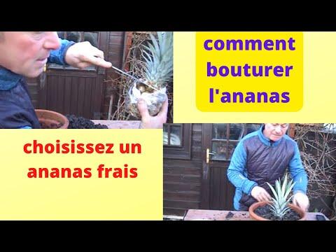 Download youtube to mp3 comment planter des ananas - Comment planter un ananas ...