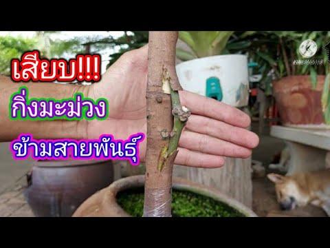 วิธี-เสียบกิ่งข้าง-ต้นมะม่วง-ส