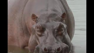 Hipopótamo hiere a campesino en zona rural de Puerto Triunfo