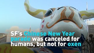 SF's Chinese New Year parade was canceled for humans, but not for oxen