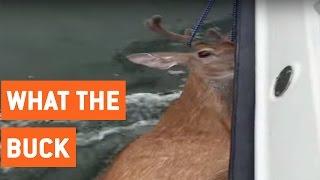 Fishermen Save Deer From Middle of Ocean   Deer Rescue