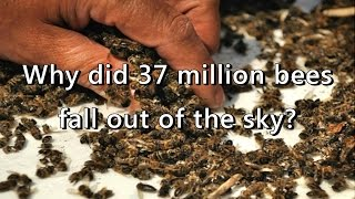 37 Million Bees Die After GMO Plantation In Canada