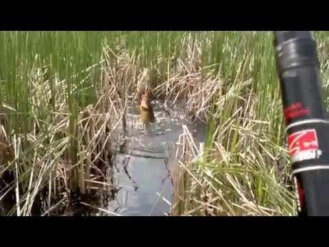 Видео ловля карася в камышах в мае