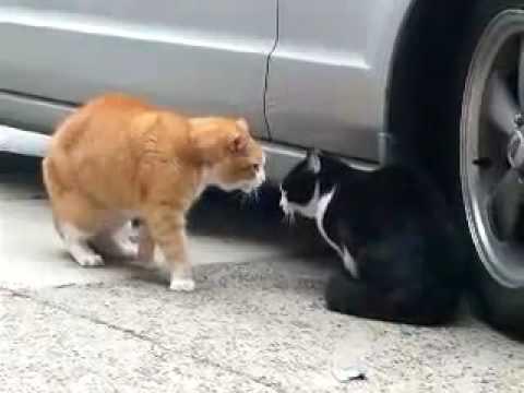 Video: Katės -  - Jos irgi moka daryti parodijų šou