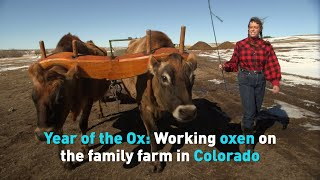 Year of the Ox: Working oxen on the family farm in Colorado