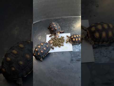 เต่าเรดฟุต-กินอาหารเม็ดT-balan