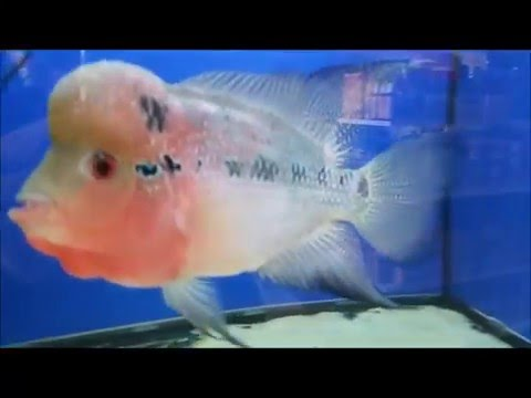 Red Dragon Flowerhorn