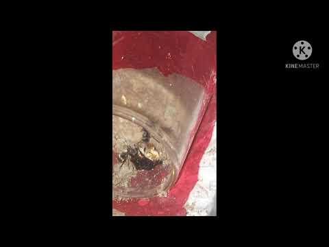 มดหนามกระทิงขนทอง-|Pha-Ant