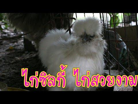 ไก่ซิลกี้-ไก่สวยงาม-เลี้ยงไว้ด