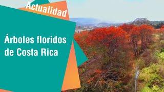 Árboles floridos de Costa Rica | Actualidad