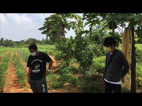 去看地瓜--ไปชมสวนมันเทศที่ปลูกไว้ใ
