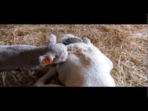Videos — Boz Shepherd Dog Breeders Association TBBA Turkish Boz