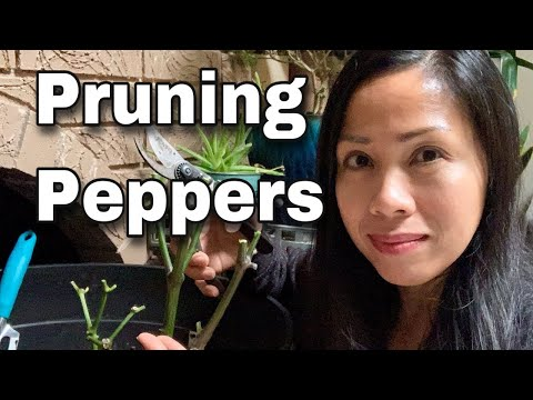Pruning Peppers To Overwinter