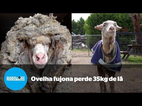 Ovelha perde 35kg de lã após cinco anos sem tosa na Austrália