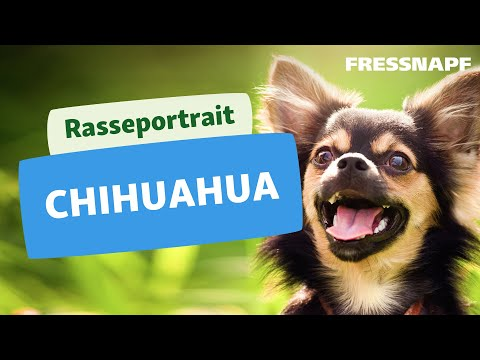 Rasseportrait: Chihuahua