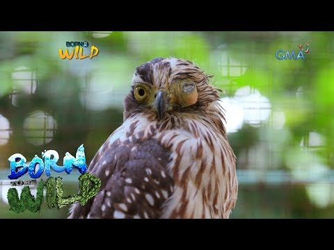 Born to Be Wild: Treating an injured Philippine serpent eagle