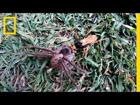 Wasp Paralyzes Spider—But the Food Fight Isn't Over | National Geographic