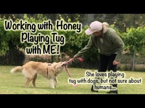 Teaching Honey to play tug with me - Dog Training