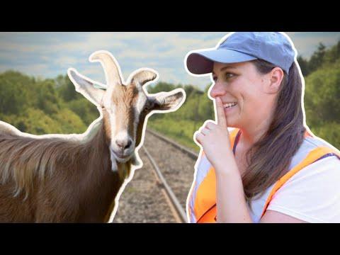Pourquoi y a-t-il des chèvres près des voies ferrées ?