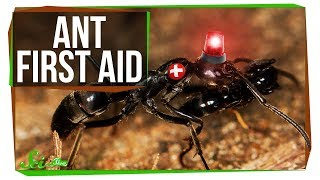 These Ant Paramedics Save Their Injured Comrades