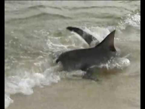 Video: Manoma, kad ryklys buvo palangoje, - bet tai tik buvo manoma....