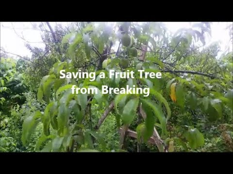 Saving a Fruit Tree from Breaking