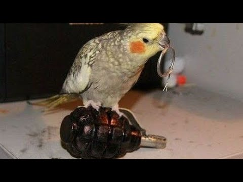connectYoutube - You will EXPLODE from laughing - ULTIMATE FUNNY BIRDS COMPILATION
