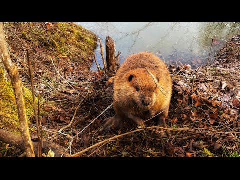 Snaring Beaver Free Trappers Journal Part 9