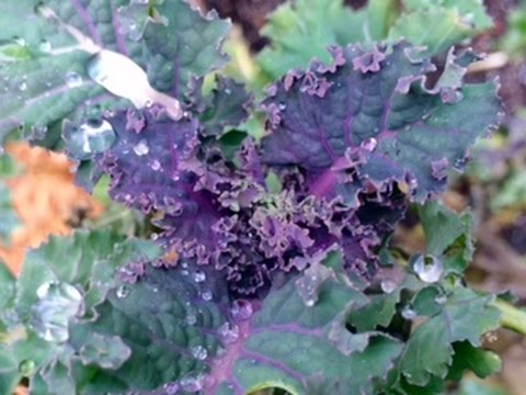 Kale and Collards, Purple and Sweet in the Winter