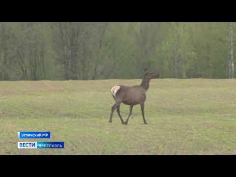 В Ярославле во время ремонтных работ на трассу из леса вышли олени