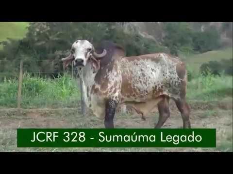 SUMAÚMA LEGADO - Gir Leiteiro