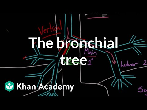 Download Youtube to mp3: Respiratory System : Trachea and Bronchi Of ...