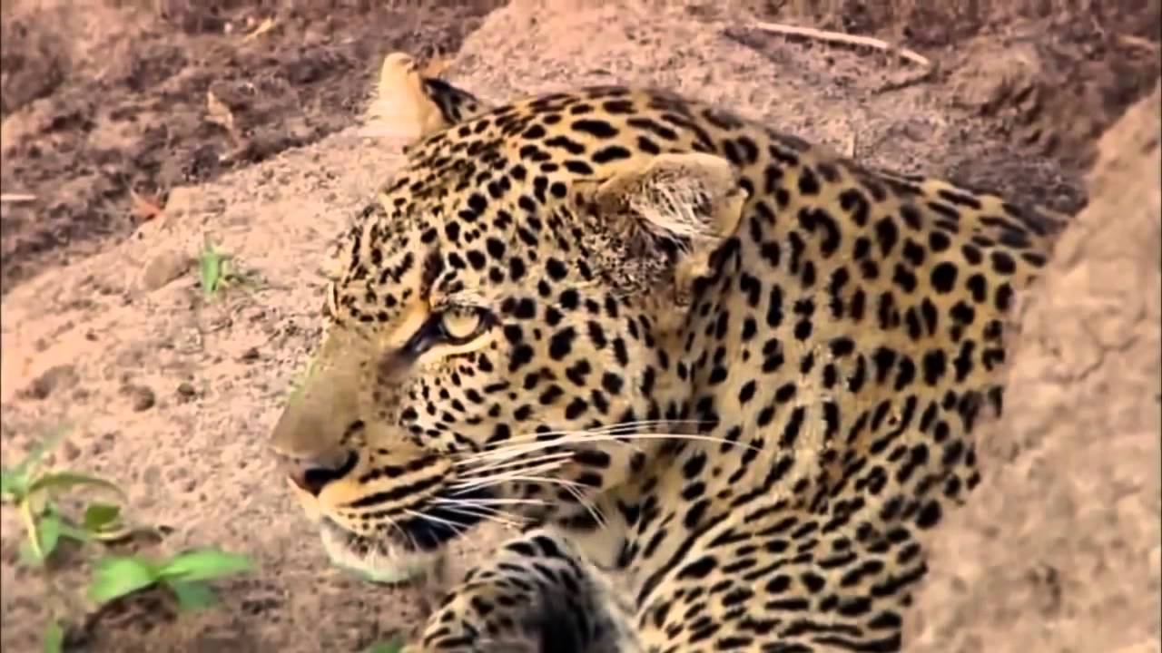 Revealing the Leopard | Nature Documentary HD