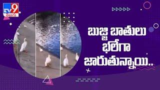 బాతులు చేస్తున్న సరదా సందడి - TV9 - TV9