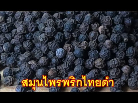 เมล็ดพริกไทยดำ-ครัวสาวจัน-คนไท