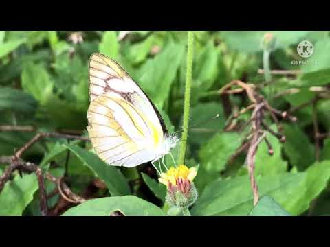 Butterfly-in-Rayong