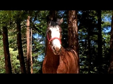Horse released from pen by billy goat