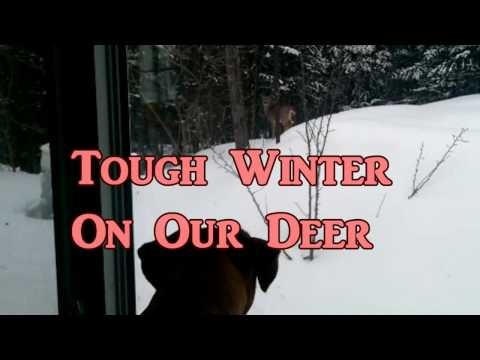 Hard Winter Hungry Deer