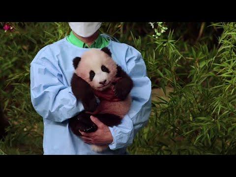 Meet Fu Bao, the first panda born in South Korea