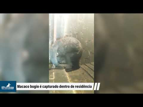 Macaco bugio é capturado dentro de residência